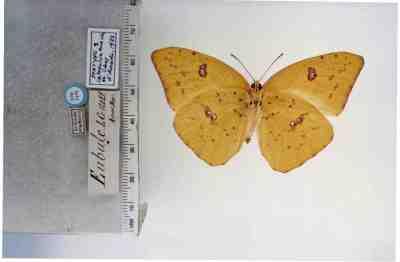 vlinder met meetding